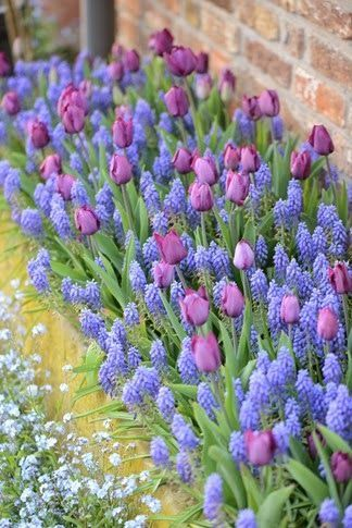 muscari and purple tulip combindation and forget me nots - wow! ähnliche Projek...