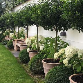 Small potted laurel trees and hydrangeas - suitable for gardens and terraces | K...