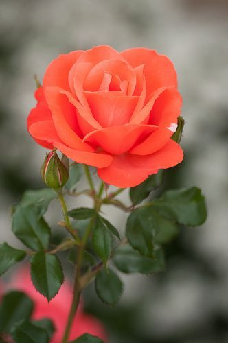Some of the Most Popular Roses on Pinterest Cruising around Pinterest we collect...