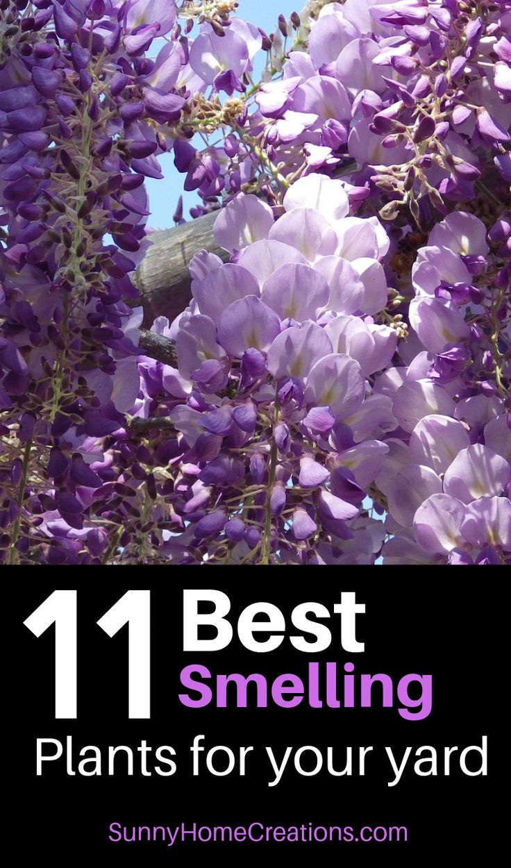 Best smelling plants, bushes, shrubs, trees and flowers for your yard