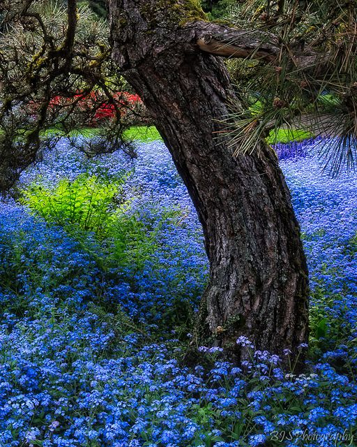Forget- me- nots are the blue flowers under a pine tree.  Not in my yard but I l...